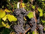 Photo for: Winegrowers report on sustainability