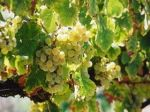 Photo for: The Hot New Wines Out of Napa Valley Are White