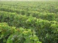 Photo for: Brazilian wineries look more to China