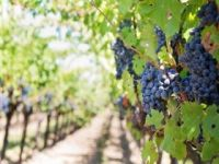 Photo for: Wine Grape Industry Expanding in Region
