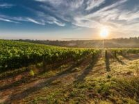 Photo for: Sulphur-free wine growing 500 per cent in a year